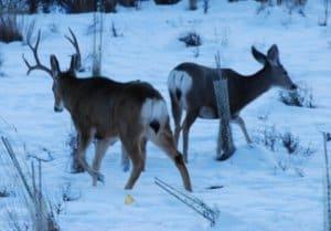 mule deer quartering away